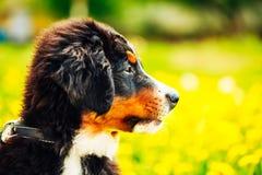 Chiot de chien de montagne de Bernese (Berner Sennenhund) Photos stock