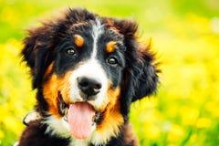 Chiot de chien de montagne de Bernese (Berner Sennenhund) Image stock