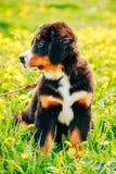 Chiot de chien de montagne de Bernese (Berner Sennenhund) Photo stock