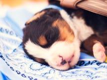 Chiot de chien de montagne de Bernese dormant dans une botte Images stock