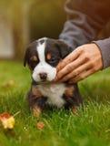 Chiot de chien de montagne sur l'herbe Photo stock