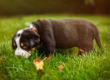 Chiot de chien de montagne sur l'herbe Photos stock