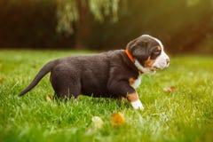 Chiot de chien de montagne sur l'herbe Images stock