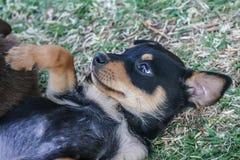 Chiot de chien de moutons de Kelpie Images libres de droits