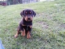 Chiot de chien de ragondin Photos stock