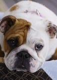 Chiot de chien de Taureau de l'anglais Images stock