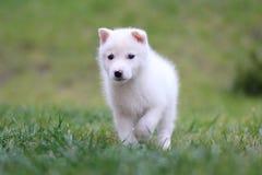 Chiot de chien de traîneau Image stock