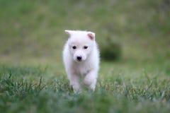 Chiot de chien de traîneau Photo libre de droits