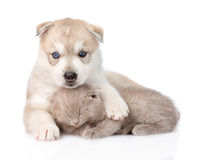 Chiot de chien de traîneau sibérien étreignant le chaton écossais D'isolement sur le blanc Photos stock