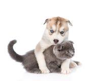 Chiot de chien de traîneau sibérien étreignant le petit chaton écossais D'isolement Photo stock