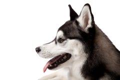 Chiot de chien de traîneau sibérien Photos libres de droits
