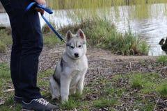 Chiot de chien de traîneau sibérien Image stock