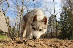 Chiot de chien de traîneau sibérien Photo libre de droits