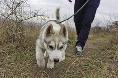 Chiot de chien de traîneau sibérien photos stock