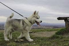 Chiot de chien de traîneau sibérien Images libres de droits