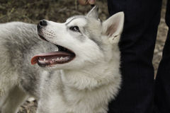 Chiot de chien de traîneau sibérien Images stock