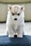 Chiot de chien de traîneau sibérien avec des œil bleu Images libres de droits