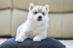Chiot de chien de traîneau sibérien avec des œil bleu Images stock