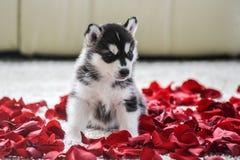 Chiot de chien de traîneau sibérien avec des œil bleu Photo libre de droits