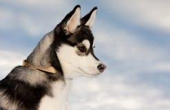 Chiot de chien de traîneau sibérien dans la neige Image libre de droits