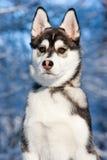 Chiot de chien de traîneau sibérien dans la neige Image stock