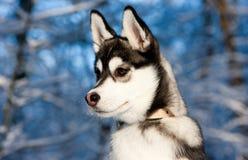 Chiot de chien de traîneau sibérien dans la neige Photos stock