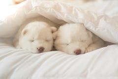 Chiot de chien de traîneau sibérien dormant sur le lit blanc Image stock
