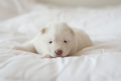 Chiot de chien de traîneau sibérien dormant sur le lit blanc Image libre de droits