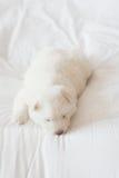 Chiot de chien de traîneau sibérien dormant sur le lit blanc Photographie stock