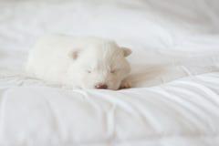 Chiot de chien de traîneau sibérien dormant sur le lit blanc Photo libre de droits