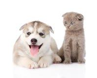 Chiot de chien de traîneau sibérien et chaton écossais ensemble D'isolement Images libres de droits