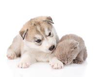 Chiot de chien de traîneau sibérien reniflant le chaton écossais Sur le blanc Image stock