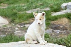 Chiot de chien de traîneau Photos stock