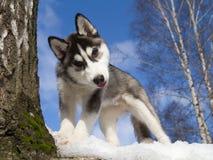 Chiot de chien de traîneau sibérien Image libre de droits