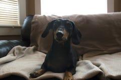 Chiot de chien de weiner de teckel se reposant sur un résumé couvrant beige b Photographie stock