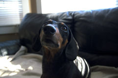 Chiot de chien de weiner de teckel se reposant sur un résumé couvrant beige b Photo stock