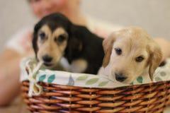Chiot de chien photographie stock