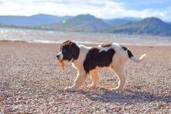 Chiot de chien de Landseer à garde Photographie stock