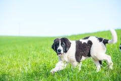 Chiot de chien de Landseer à garde Image libre de droits