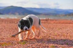 Chiot de chien de Landseer Photographie stock libre de droits