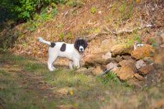 Chiot de chien de Landseer Images stock