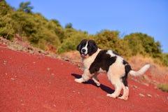 Chiot de chien de Landseer Photo libre de droits