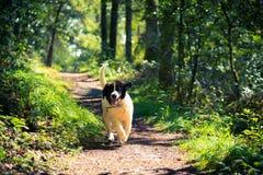 Chiot de chien de Landseer Photo stock