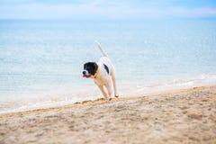 Chiot de chien de Landseer Photographie stock