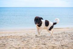 Chiot de chien de Landseer Photos stock