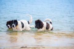 Chiot de chien de Landseer Image stock