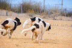 Chiot de chien de Landseer Images libres de droits