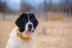 Chiot de chien de Landseer Photos libres de droits