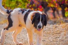 Chiot de chien de Landseer Image libre de droits