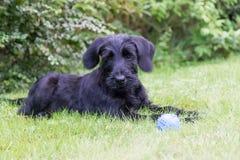 Chiot de chien noir géant de Schnauzer dehors Photos stock